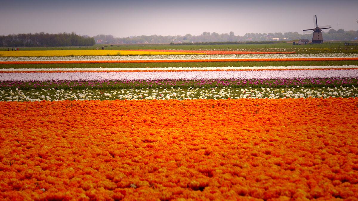 Bollenveld in de Wimmenummer polder bij Egmond op 26 april 2014