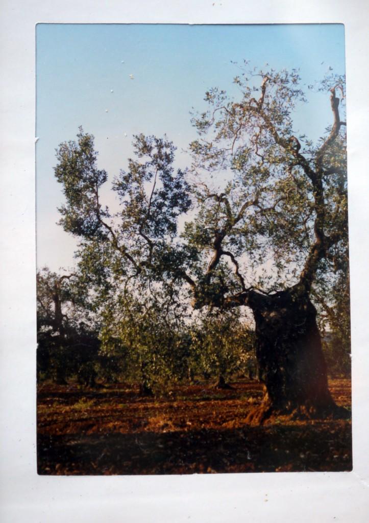 Olijfboom gefotografeerd door mij in de omgeving van Martina Franca in 1991. ©Huib J. Lirb 1991; 2015