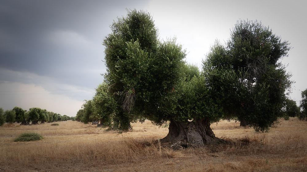 Olijfboomgaard  van de Masseria Pizzariello langs de weg SP107 ten westen van San Donato (Talsano) in Puglia. Patrizia Guastella heeft ons er naar toe geleid. De bomen zijn eeuwenoud. ©2015 H.J.Lirb