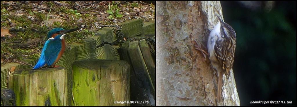 IJsvogel en boomkruipers langs de randen van Nieuw-Sloten. ©2017 H.J. Lirb