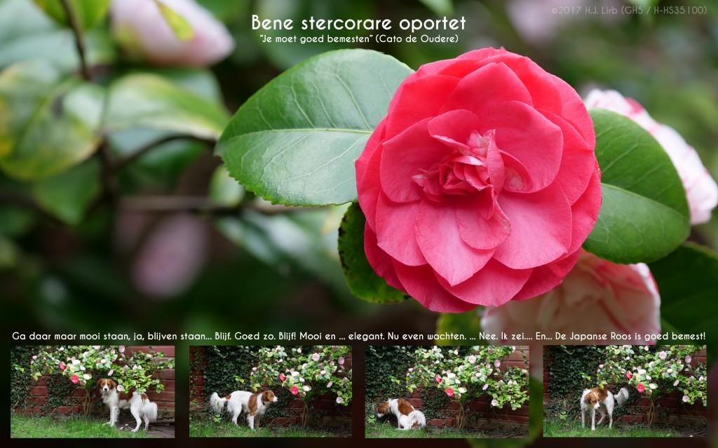 Eigen Huis en Tuin - De Japanse Roos (Camellia Japonica) wordt door Gossa goed bemest. ©2017 Huib J. Lirb