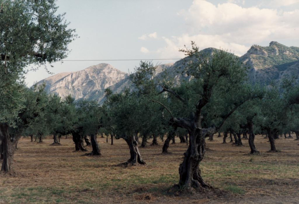 Sparta. Olijfboomgaard in de Eurotas vallei met de Taygetos in het verschiet (Foto ©1990/2019 Huib J. Lirb)